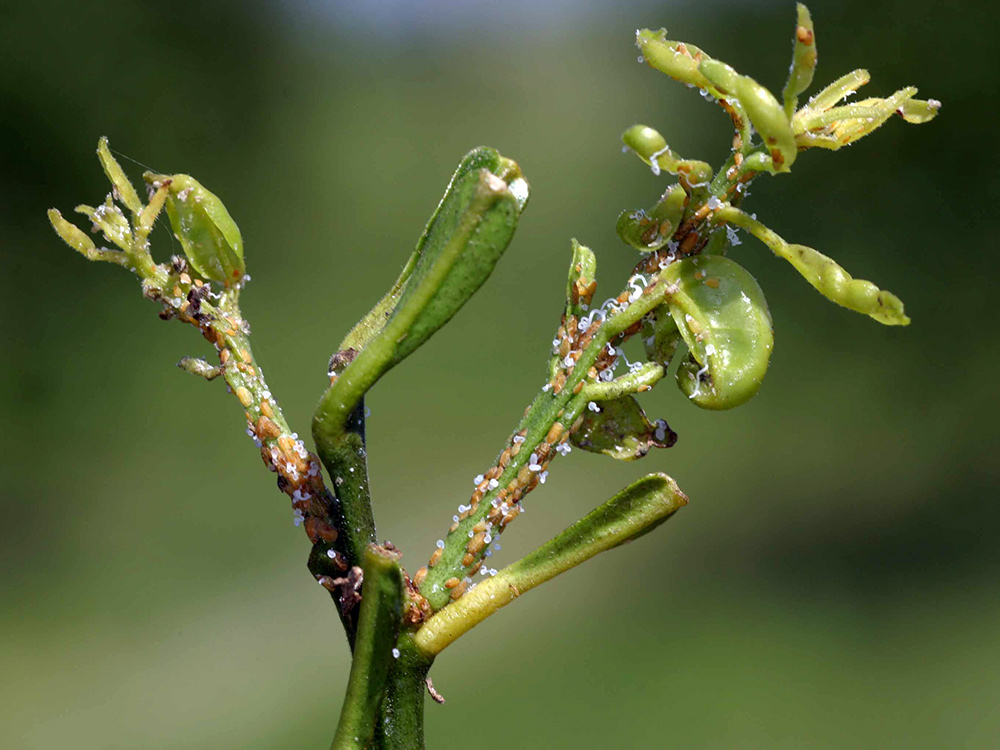 asian citrus psyllid and huanglongbing in california