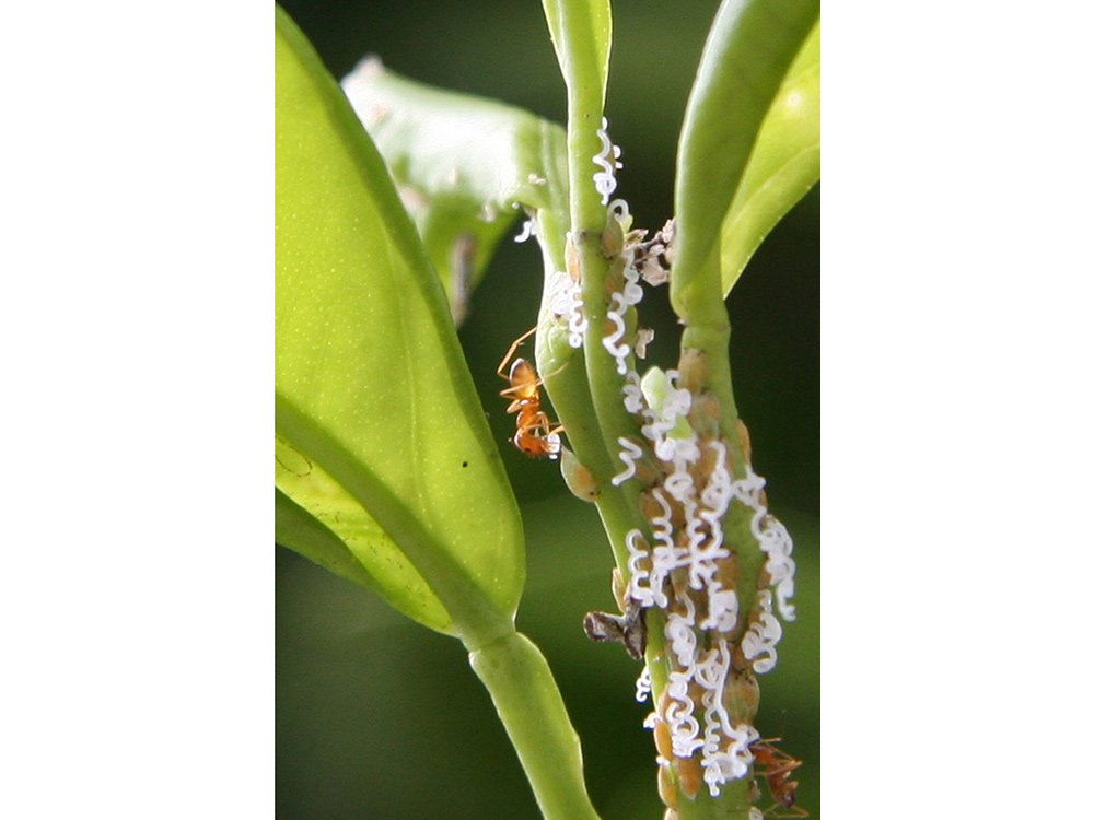 Ants and Asian citrus psyllid on tree leaf