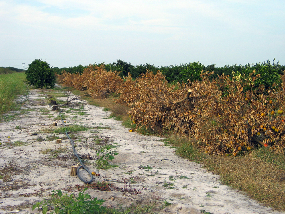 Citrus greening disease in Florida groves