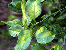 Pomello tree infected with Huanglongbing