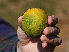 Citrus greening disease shown on fruit