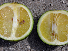 Misshapen citrus fruit due to Huanglongbing