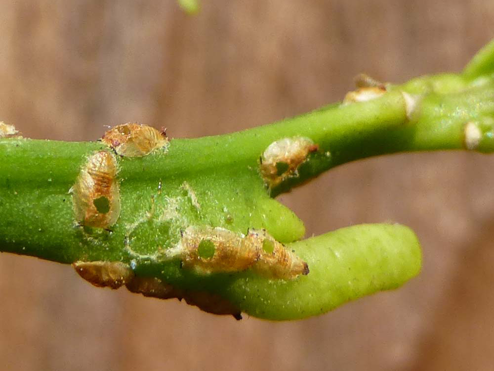 Tamarixia holes in Asian citrus psyllid nymph carcasses